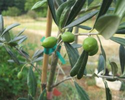 Canada and Olive Trees: A Successful Story of Plant and Harvest