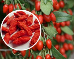 This Will Make You Think About Growing Your Own Goji Berries