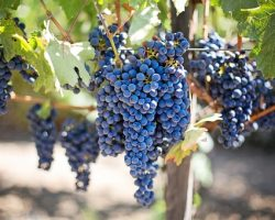 Grapes – An Everyday Berry with Powerful Health Benefits