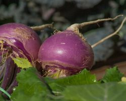 Turnips: What You Need to Know
